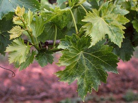 болезни винограда и лечение
