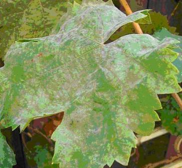 оидиум виноградного листа