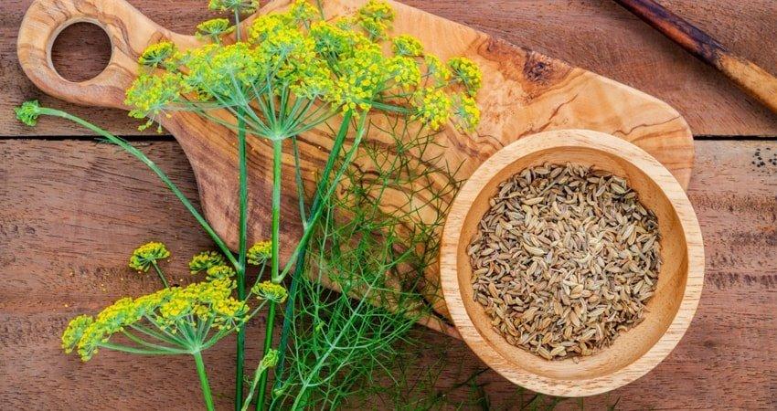 Семя укропа: полезные свойства и противопоказания