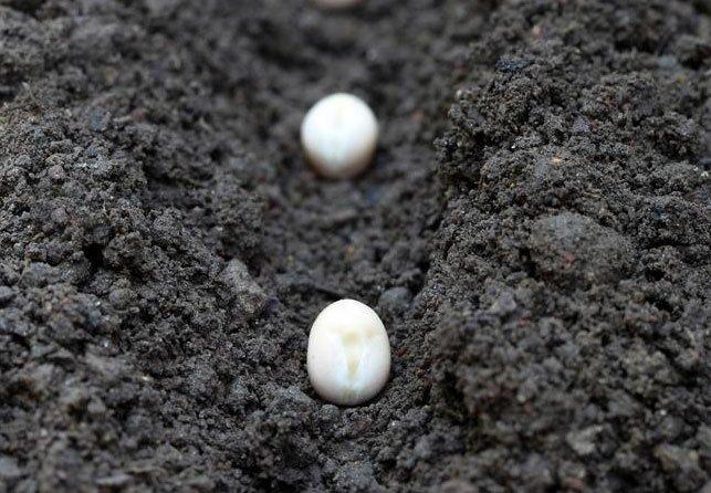 Как посадить фасоль