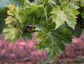 Миниатюра к статье Болезни винограда и способы лечения